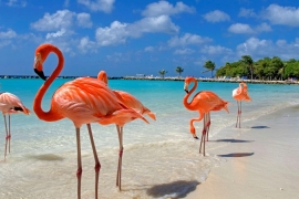 Flamingos enjoying the beach in Aruba.