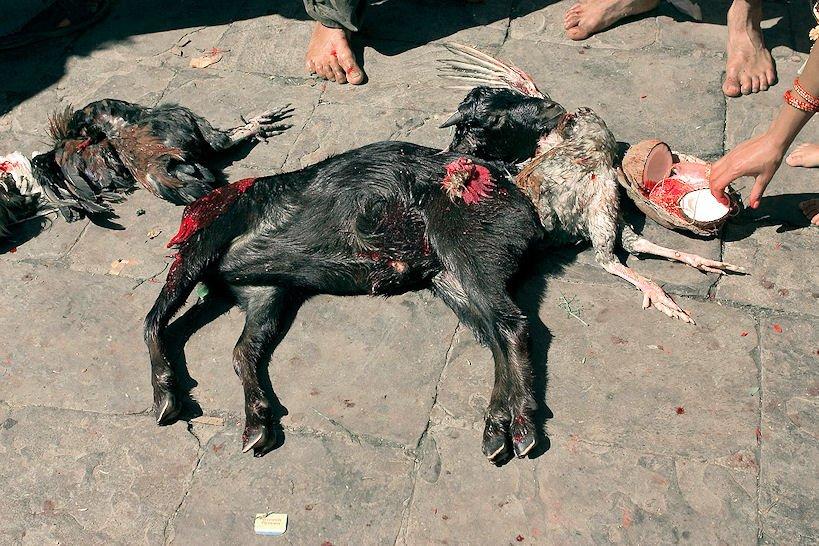 жертвенные животные в храме
