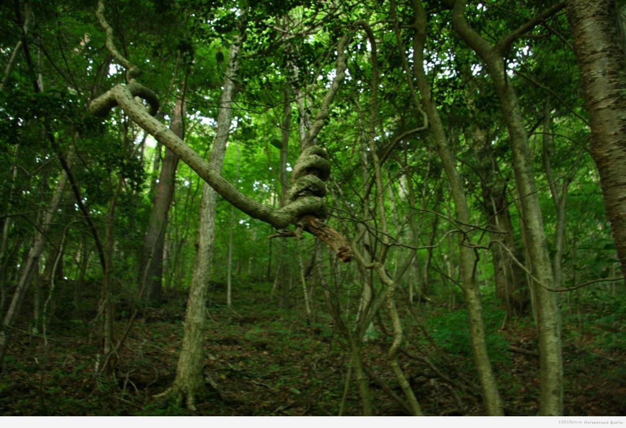 перекрученные деревья