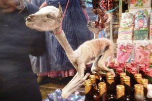 тушка маленькой ламы
