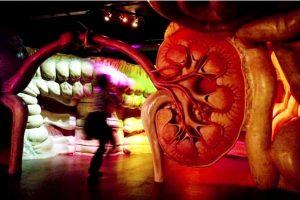 модель внутреннего органа