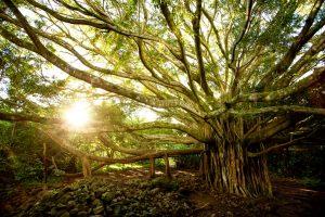 растительность гавайев