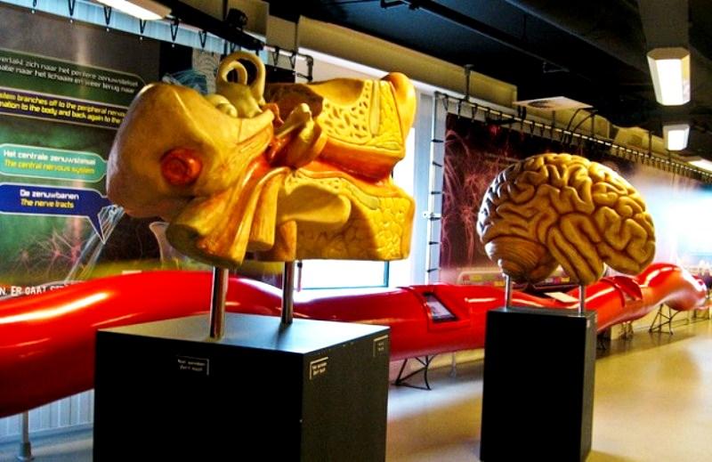 модели человеческих органов