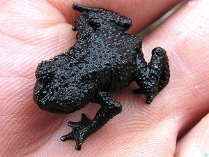 черная лягушка