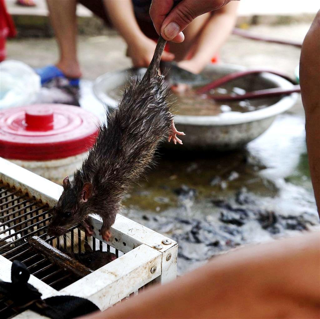 крыса для жарки