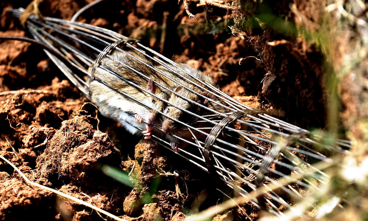 пойманные крысы
