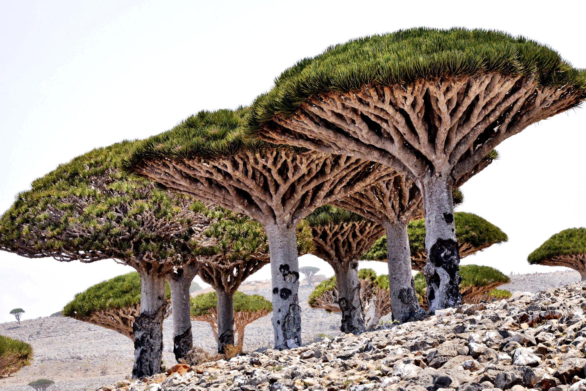 группа драконовых деревьев