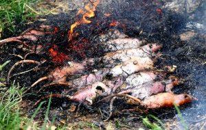 обжаривание крыс