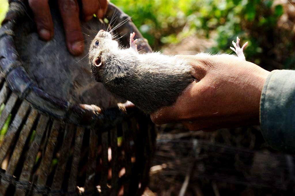крыса поймана