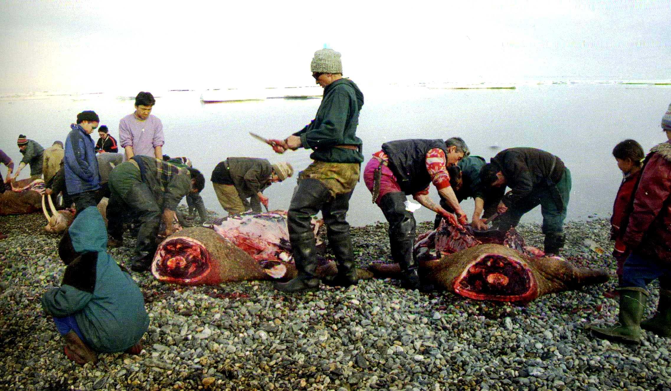 подготовка туш тюленей