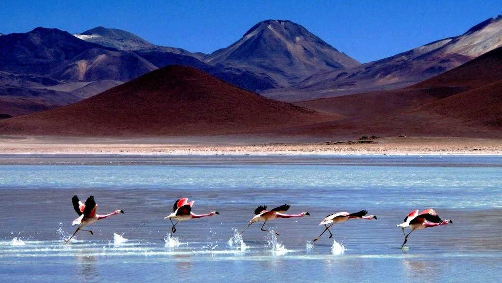 бегущие фламинго