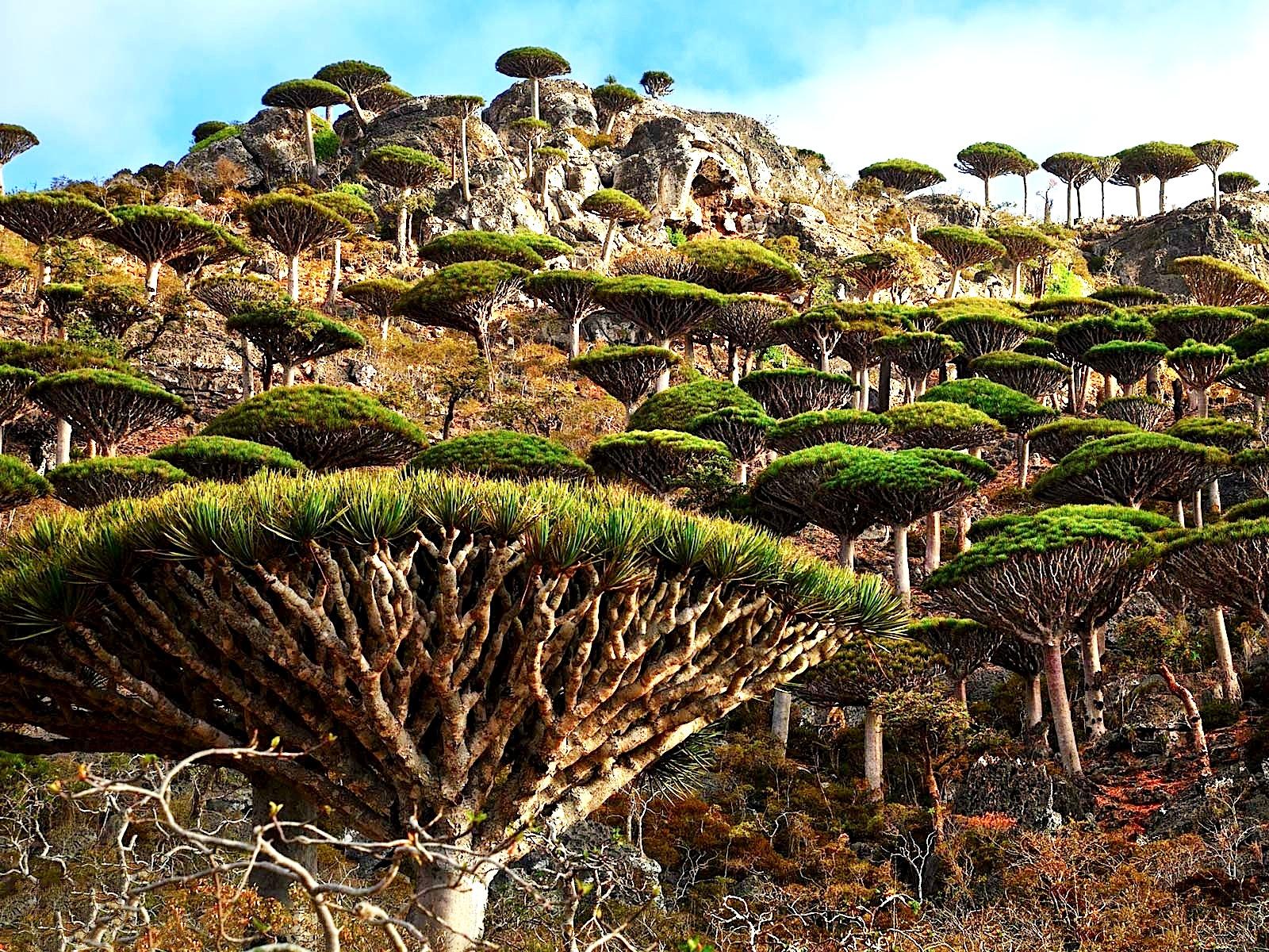 драконовы деревья