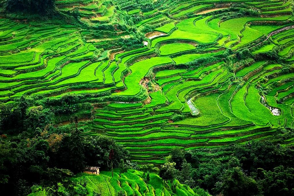 чудо рисовых полей