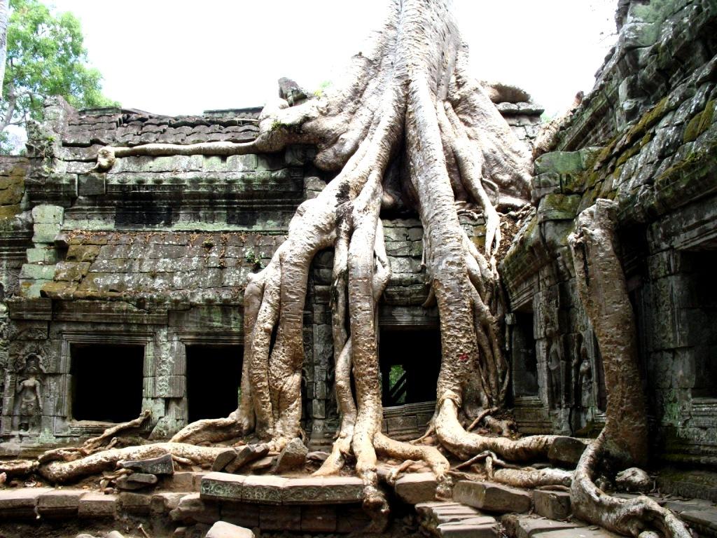 гигантское дерево та прома