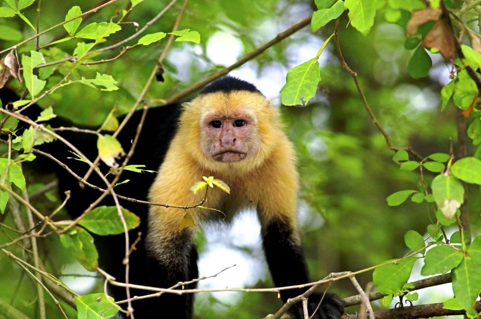 старая обезьяна