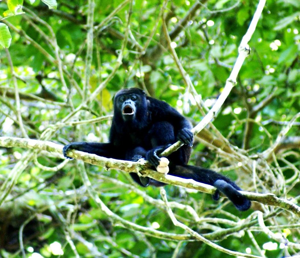 ревущая обезьяна