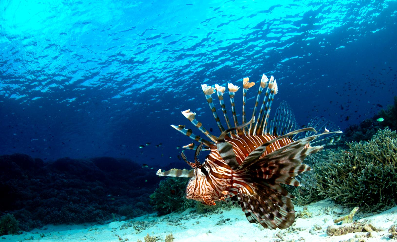 рыба ангел на рифах туббатаха