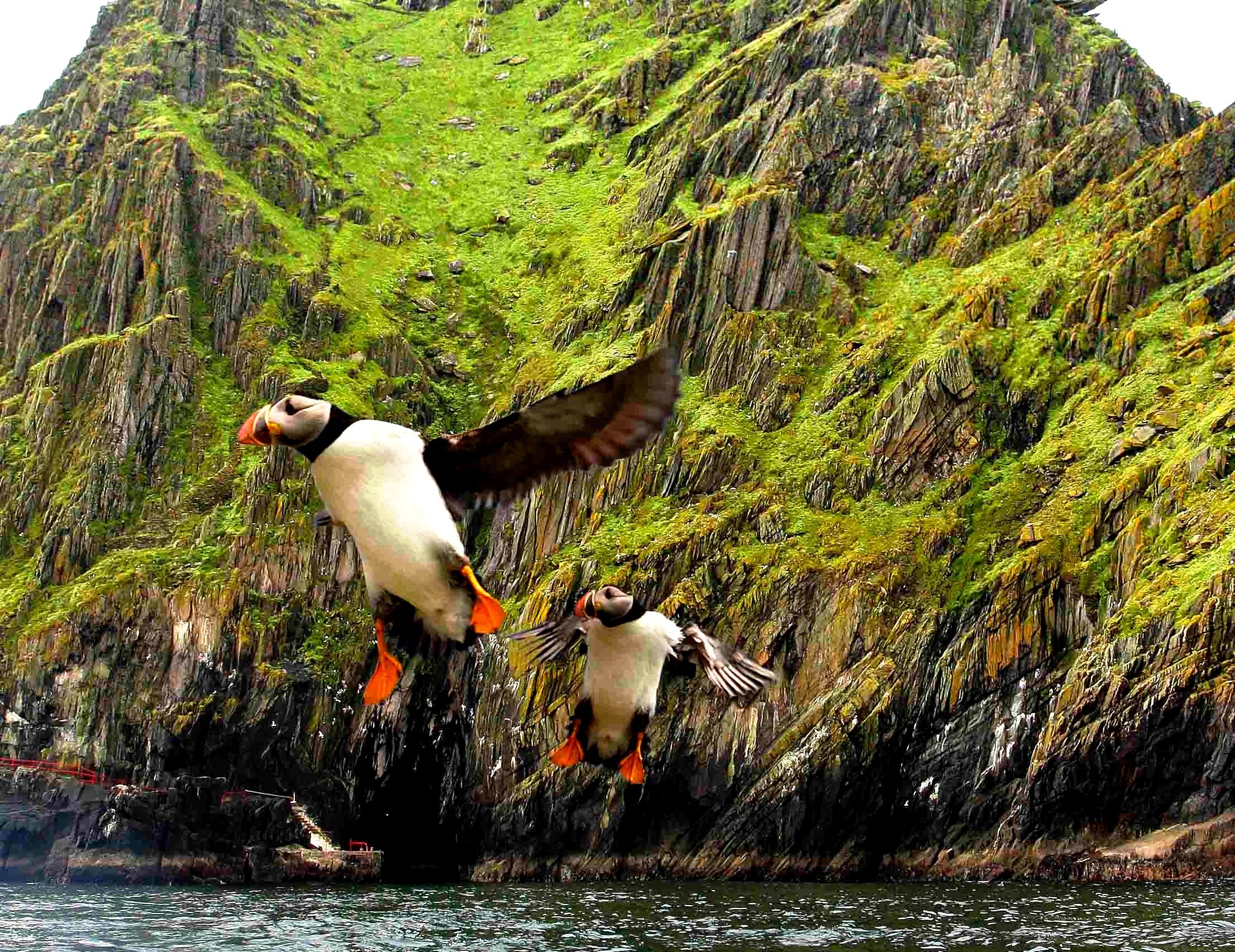 птицы скеллиг-майкла