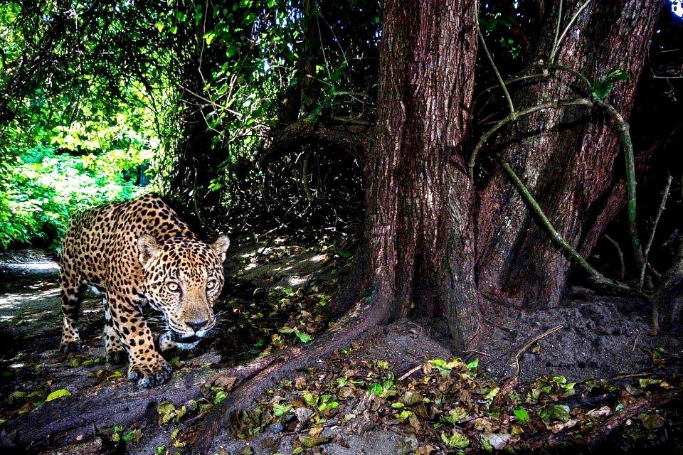 охотящийся ягуар