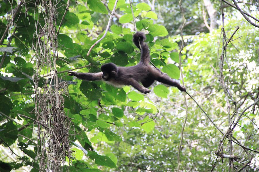 обезьяна ревун