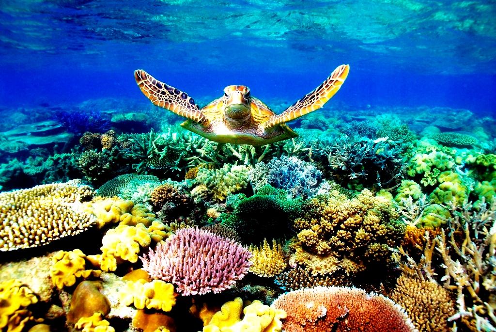 черепаха барьерного рифа