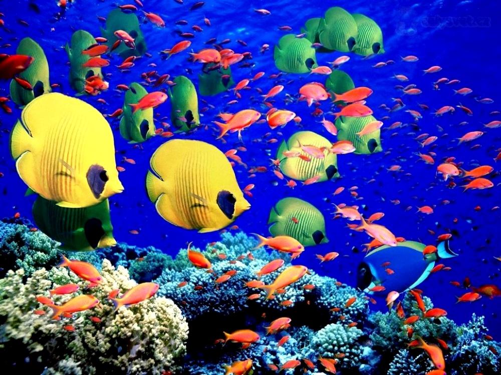 разноцветные рыбы рифа