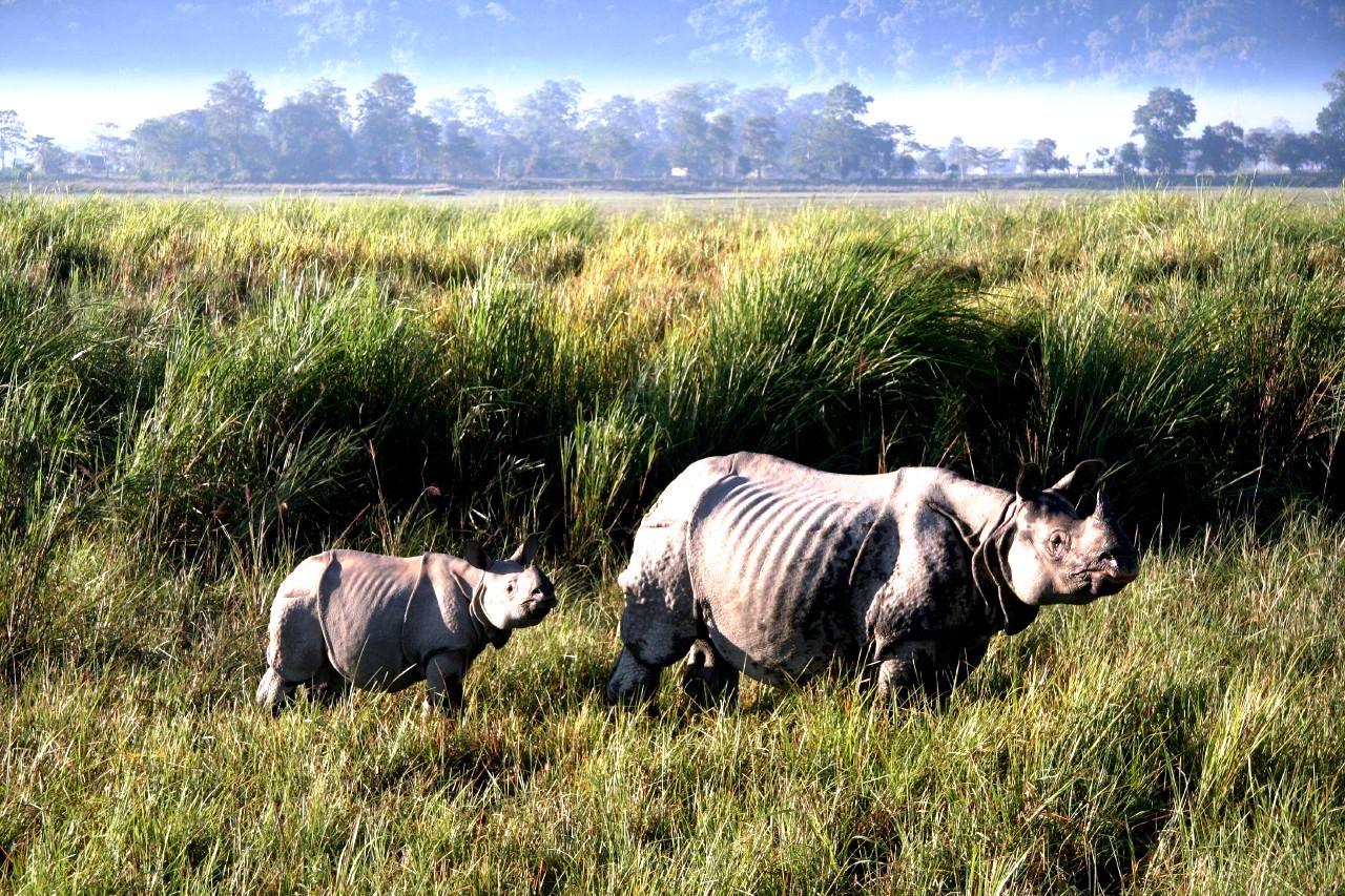 носороги парка казиранга