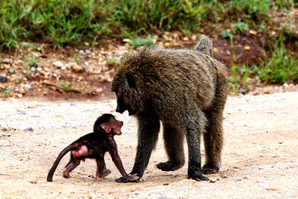 обезьяны серенгети