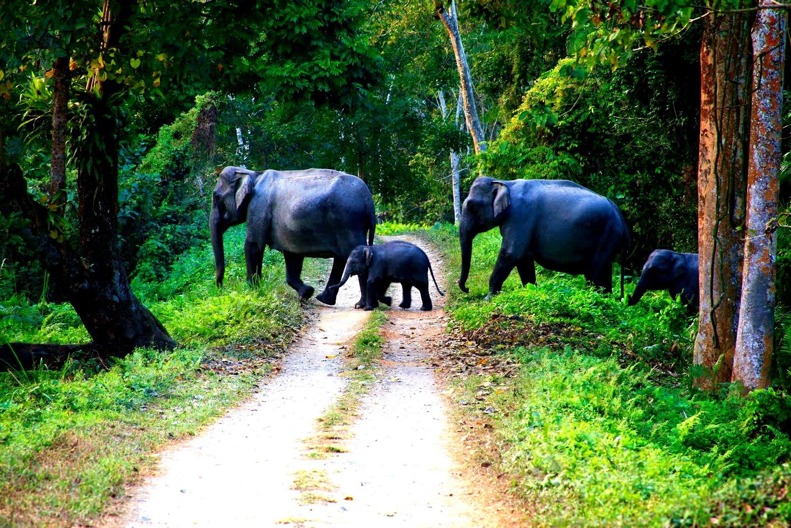 стадо слонов в казиранге