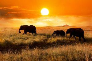 стадо слонов в серенгети