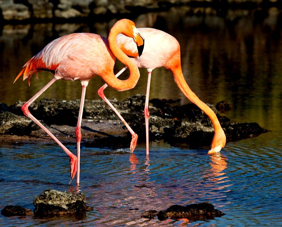 галапагосские фламинго