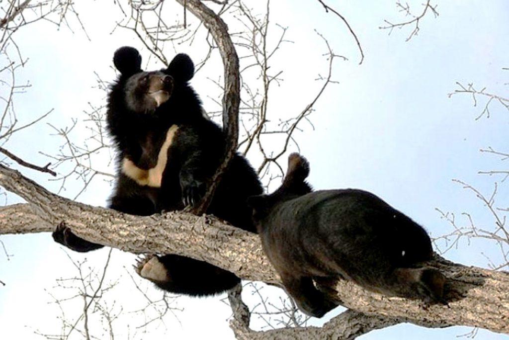 медведи гималаев