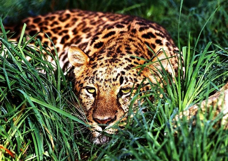 тигр в серенгети