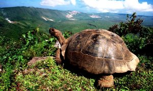 черепаха острова Исабела