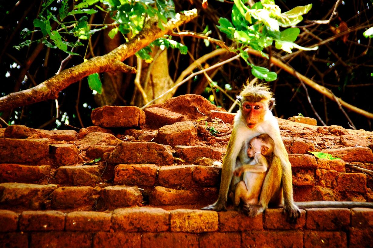 обезьяны сигирии