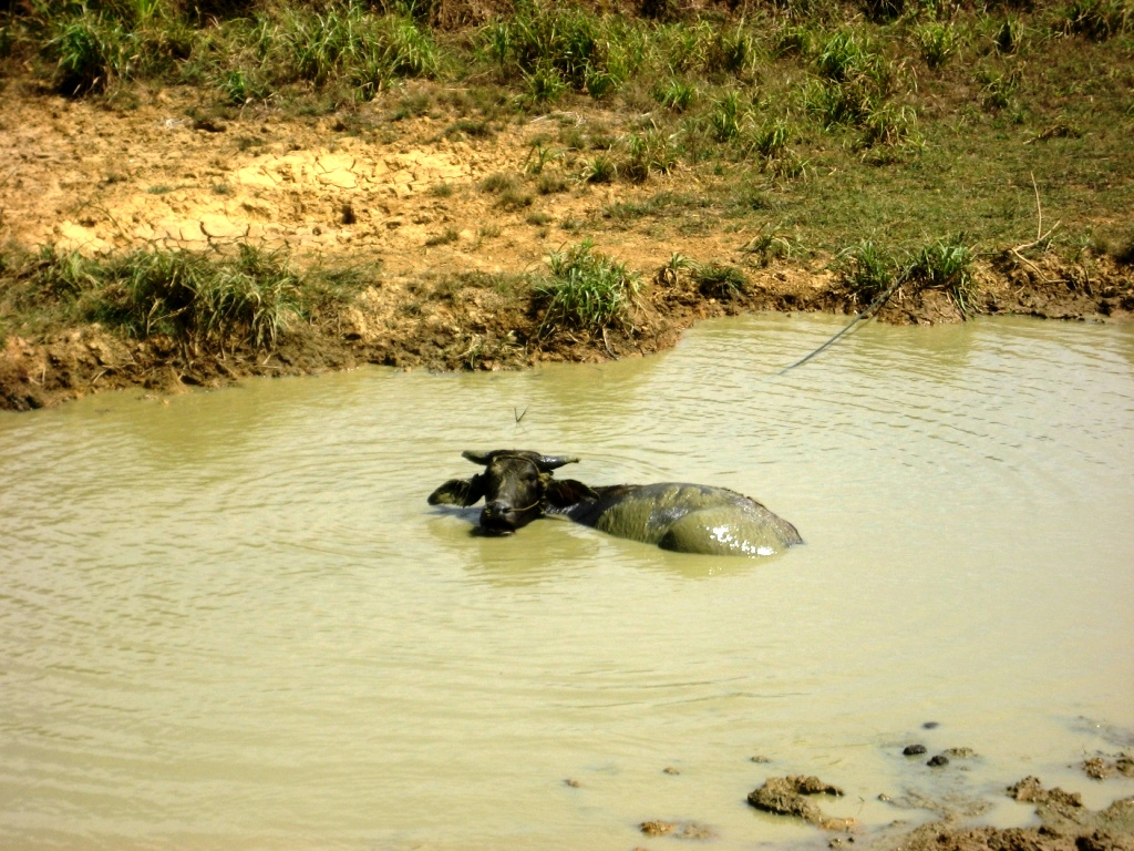 буйвол в реке