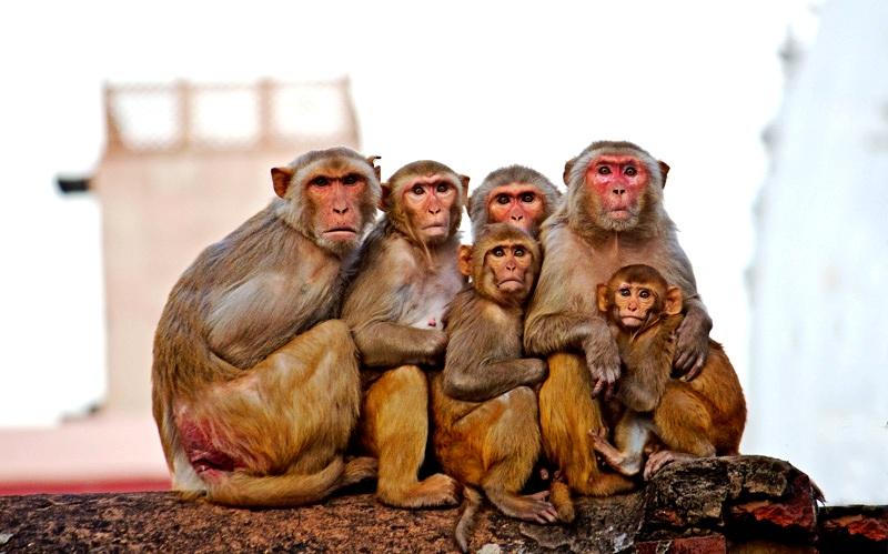 индийские макаки