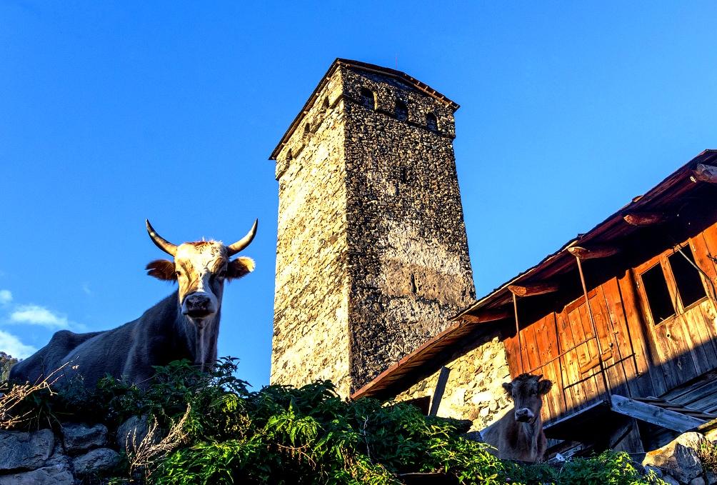 корова на фоне башни