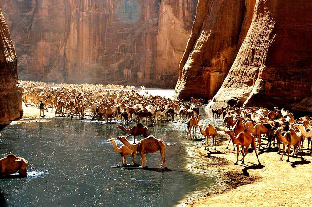 стадо верблюдов в эннеди