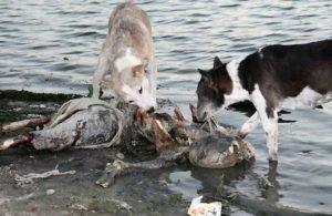 собаки грызут останки