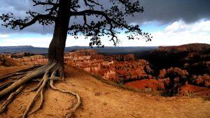дерево с узловатыми корнями