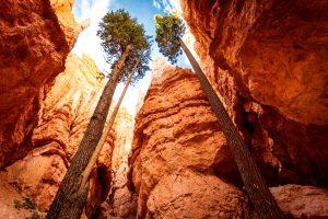 сосны на дне каньона