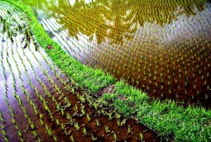 ростки риса в батаде